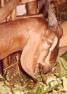 Anglo-Nubian doe