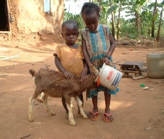 Children giving water to a kid dairy goat