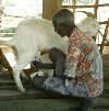 Milking a goat for household consumption