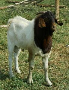 75% Boer buck at Gerald Ssemwogerere's farm, Masaka