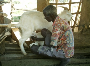 Mario Elotu milking a goat that Mark Ojur brought from Masaka
