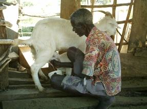 Mario Elotu milking a goat that Mark Ojur brought from Masaka