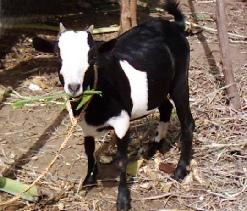 'Nganda' goat of Central Uganda
