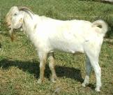 Pure Savannah buck at Gerald Ssemwogerere's farm, Masaka, Uganda