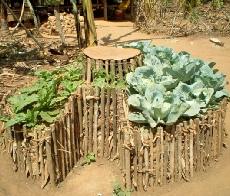 Vegetable plot fertilised using goat manure