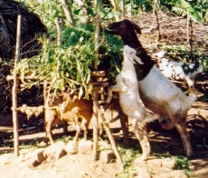 Goats in Uganda eating tree leaves and crop residues