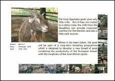 Christmas/Birthday Goat Certificate p3