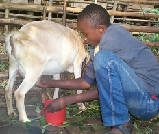 Milking a crossbred dairy goat at JOY Youth Training Centre