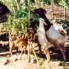 Trees for feeding goats