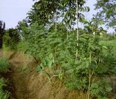 Erosion control using goat fodder (calliandra)