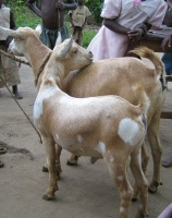 The local goats are some of the best in Uganda