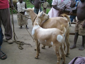 'Nkonzo' goat from the Rwenzori Mountains